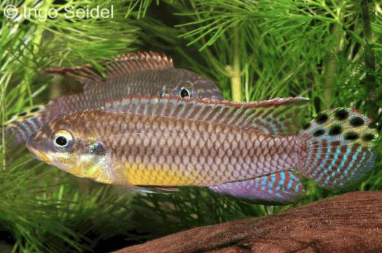 Pelvicachromis taeniatus Bipindi 10