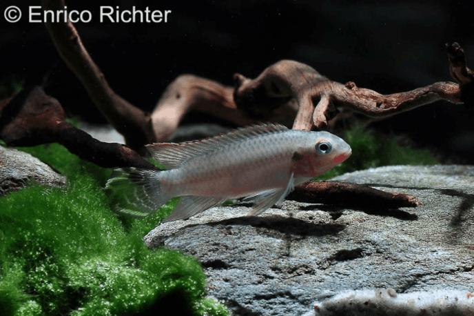 Pelvicachromis taeniatus Bipindi 7