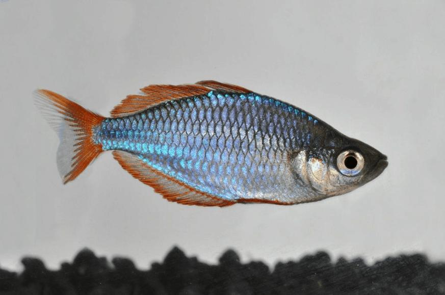 Melanotaenia praecox - Diamant-Regenbogenfisch 2