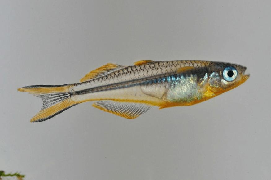 Pseudomugil furcatus gabelschwanz regenbogenfisch my fish for Robuste zierfische
