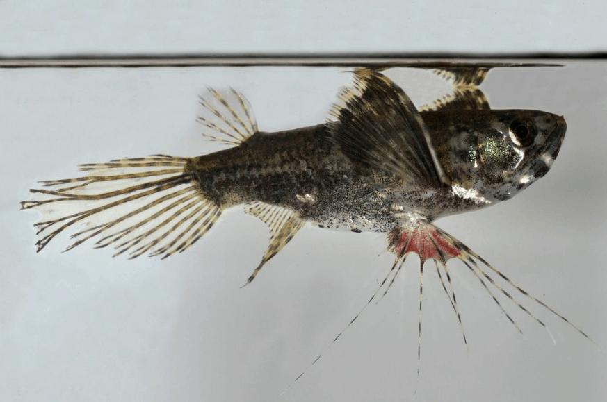 Pantodon buchholzi - Schmetterlingsfisch 2