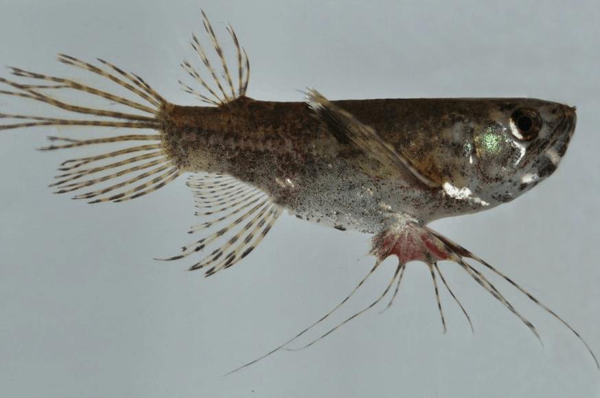 Pantodon buchholzi - Schmetterlingsfisch 3