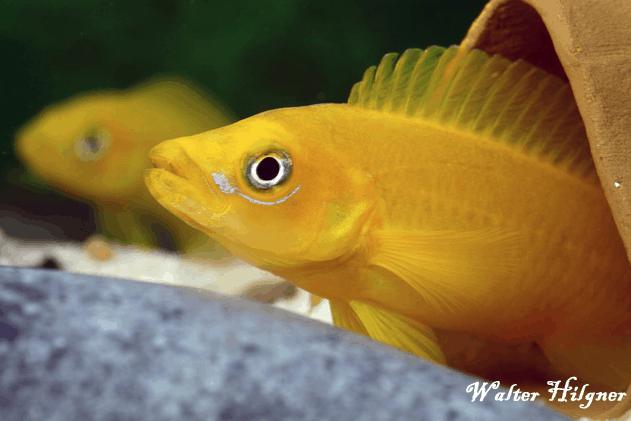 Neolamprologus leleupi - Tanganjikasee-Goldcichlide 2