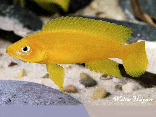 Neolamprologus leleupi - Tanganjikasee-Goldcichlide 4