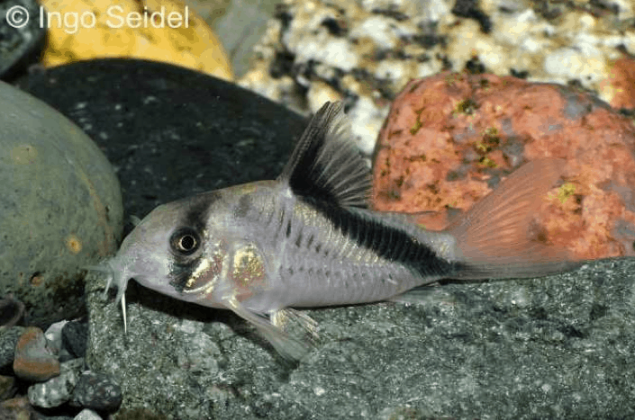 Corydoras melini - Kopfbinden-Panzerwels 2