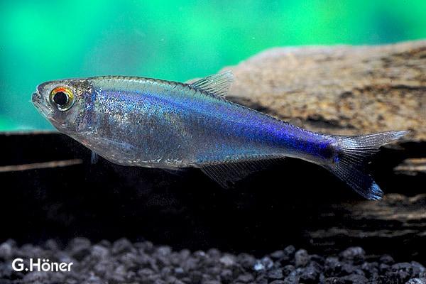 Boehlkea fredcochui - Blauer Perusalmler 1