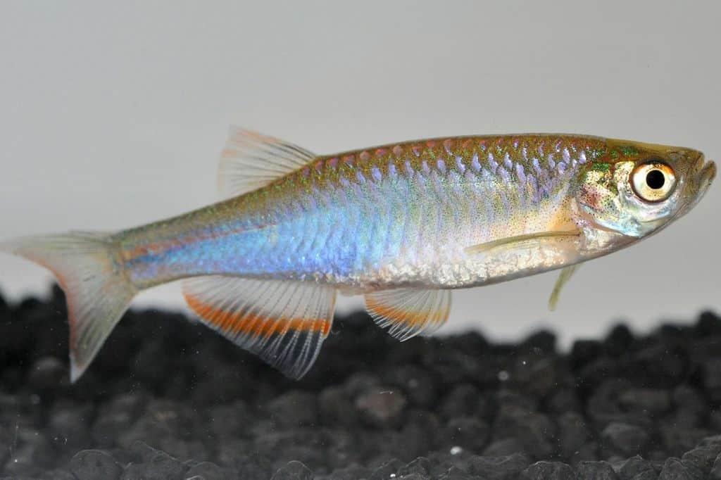 Danio albolineatus - Schillerbärbling 2