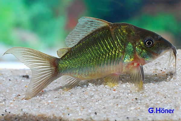Brochis splendens - Smaragd-Panzerwels 1