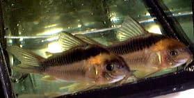 Corydoras rabauti - Rost-Streifen-Panzerwels 1