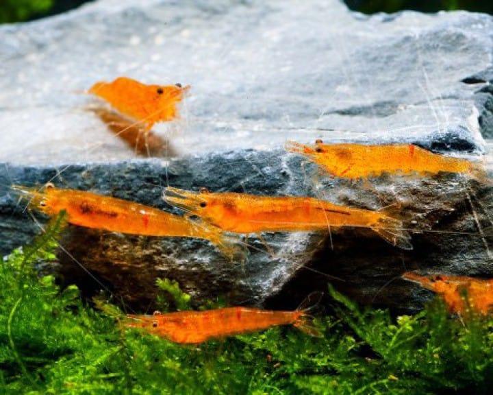 Caridina propinqua - Mandarinengarnele 3