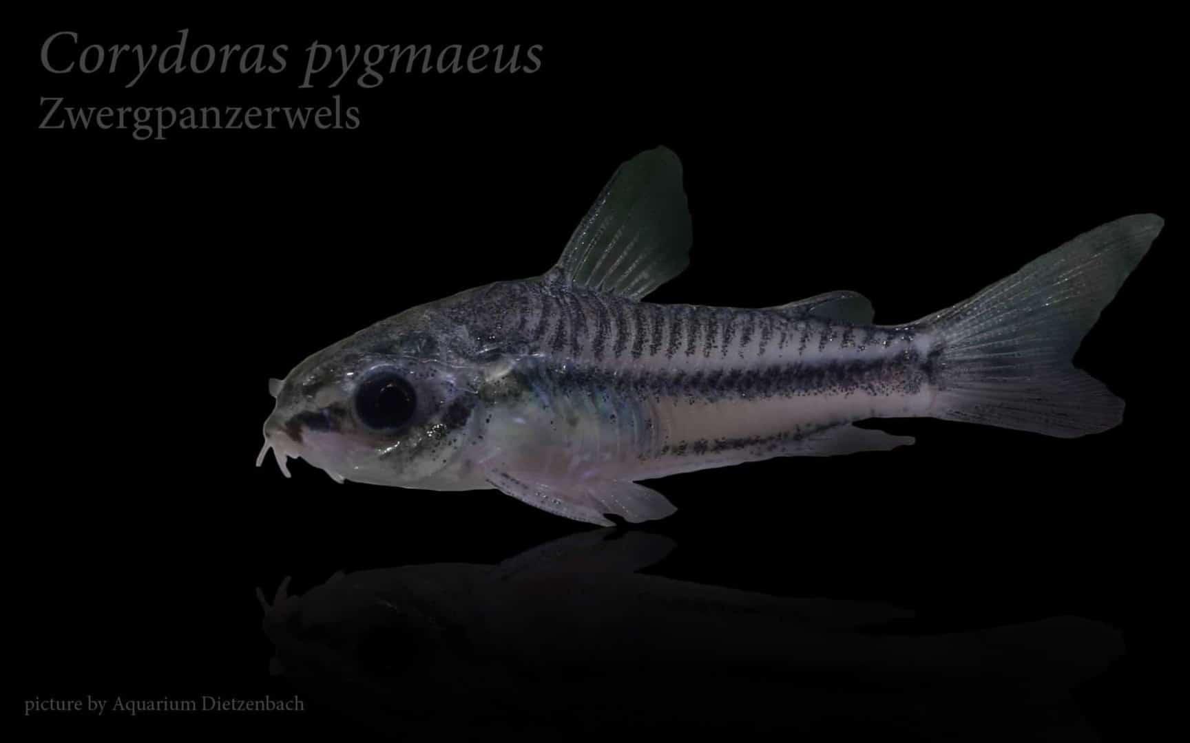 Corydoras pygmaeus - Zwergpanzerwels 8