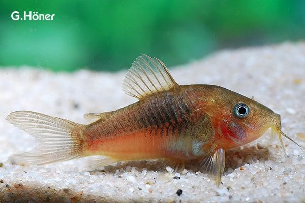 Interessante Aquarienbewohner - Welse 3