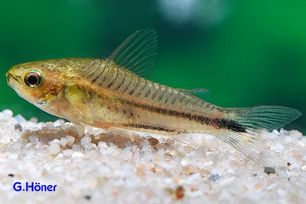 Corydoras_pygmaeus_n1