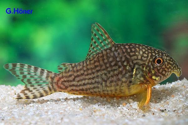 Corydoras sterbai - Gelbflossen-Panzerwels 1