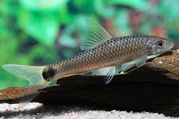 Crossocheilus reticulatus netz pinselalgenfresser my fish for Algenfresser gartenteich fische