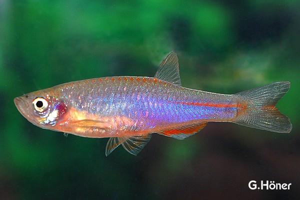 Danio albolineatus - Schillerbärbling 1