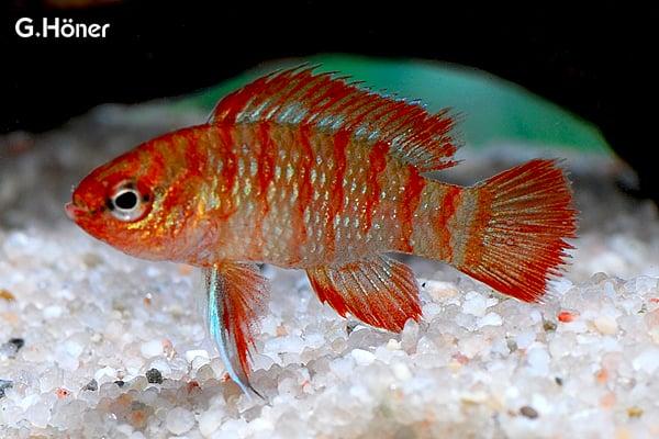 Dario dario badis scarlet my fish for Zierfische barsch