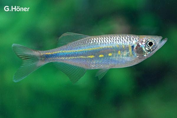 Devario aequipinnatus - Malabarbärbling 1
