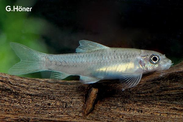 Interessante Aquarienbewohner - Barben 8