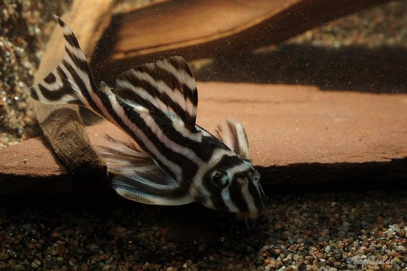 Hypancistrus zebra - Zebrawels L46 2
