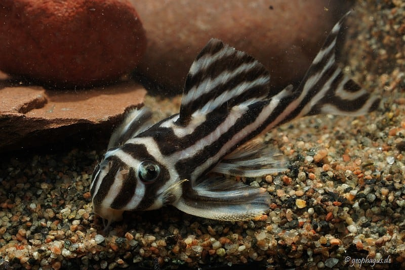 Hypancistrus zebra - Zebrawels L46 3