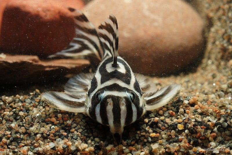 Hypancistrus zebra - Zebrawels L46 4