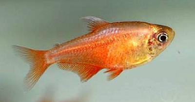 Hyphessobrycon flammeus - Roter von Rio 5