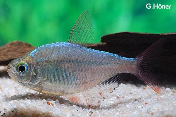 Hyphessobrycon columbianus - Rotblauer Kolumbianer 1