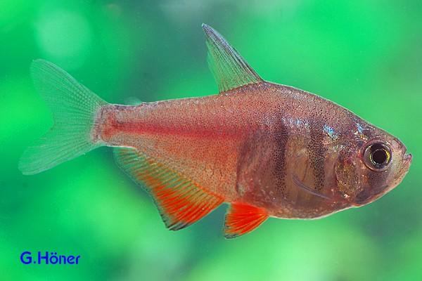 Interessante Aquarienbewohner - Salmler 10