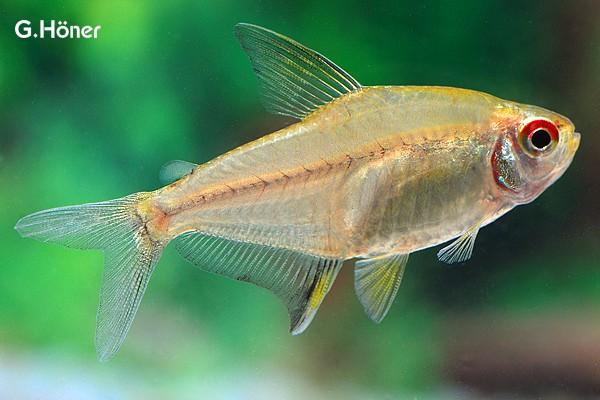 Interessante Aquarienbewohner - Salmler 9