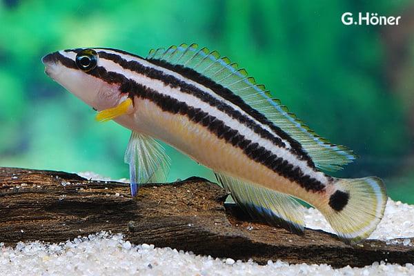 Julidochromis ornatus - Gelber Schlankcichlide 1