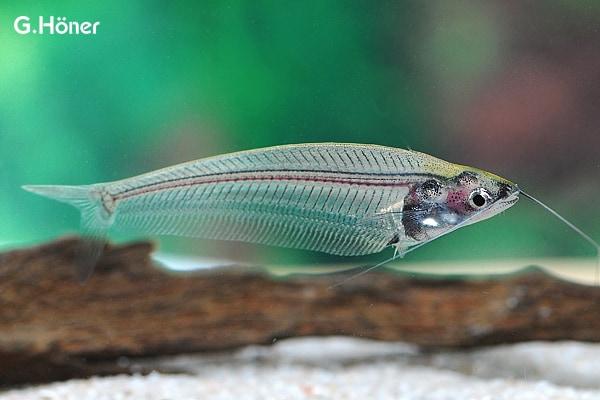 Kryptopterus minor - Indischer Glaswels 1