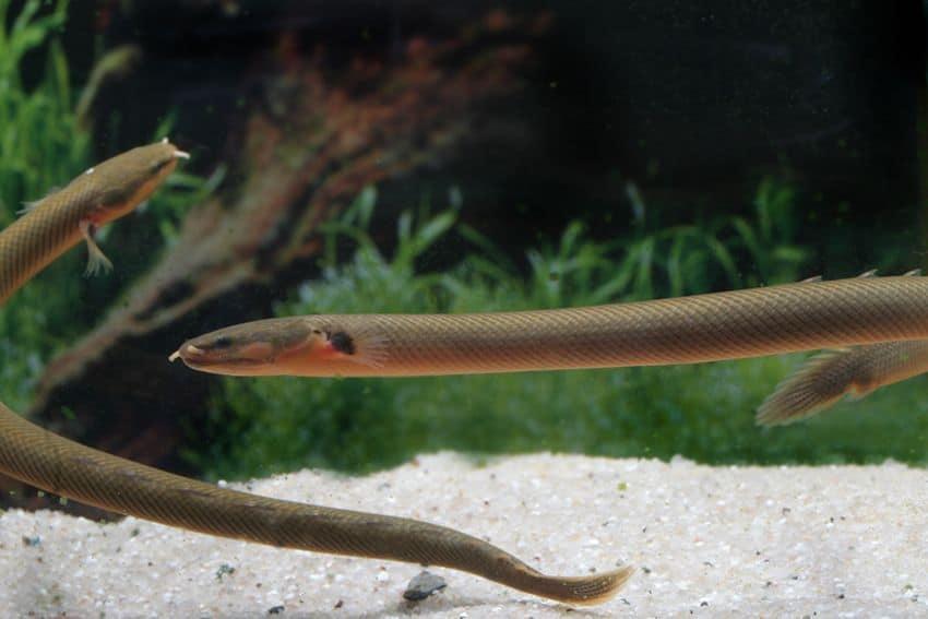 Erpetoichthys calabaricus - Flösselaal 6