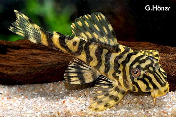 Peckoltia compta - Goldtigerharnischwels 1