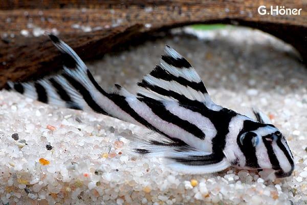 Hypancistrus zebra - Zebrawels L46 1
