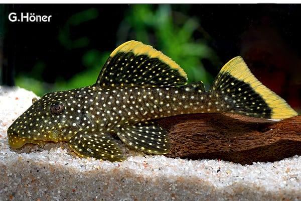 harnischwelse my fish. Black Bedroom Furniture Sets. Home Design Ideas