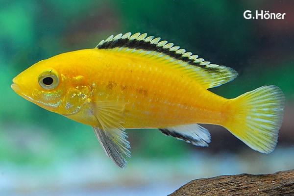 Labidochromis caeruleus - Labidochromis yellow 1
