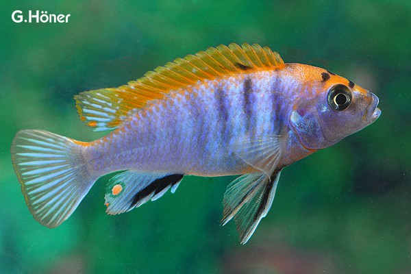 Labidochromis sp. hongi - Labidochromis