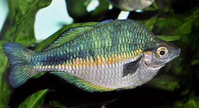 Melanotaenia lacustris - Blauer Regenbogenfisch 2
