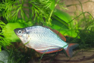 Melanotaenia praecox - Diamant-Regenbogenfisch 3