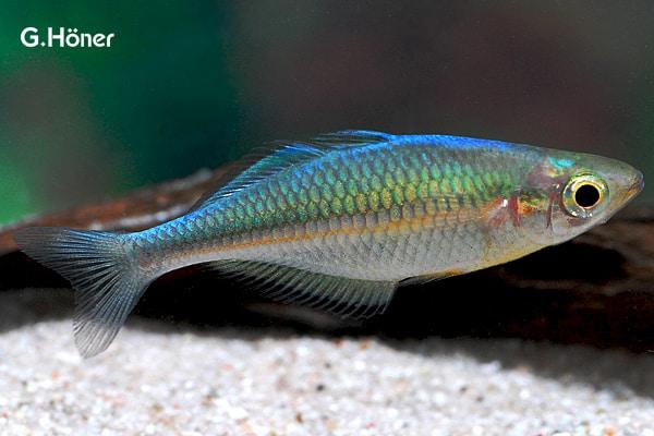 Melanotaenia lacustris - Blauer Regenbogenfisch 1