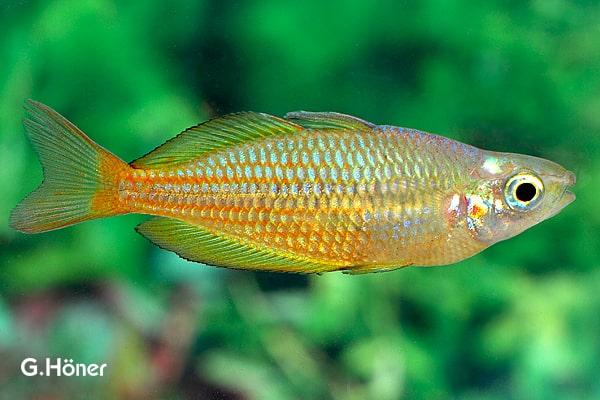 Melanotaenia trifasciata - Juwelen-Regenbogenfisch 1