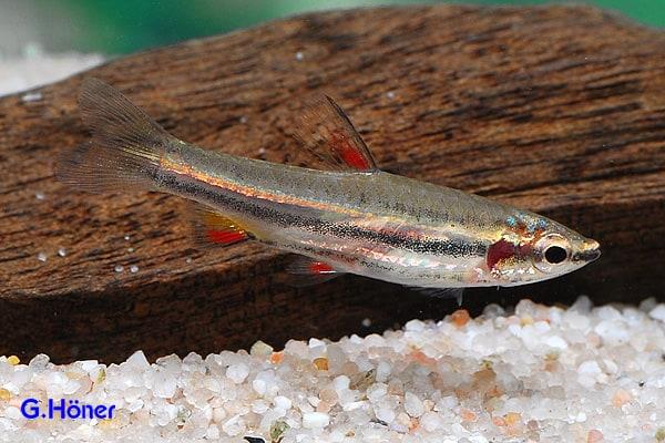 Nannostomus marginatus - Zwergziersalmler 1