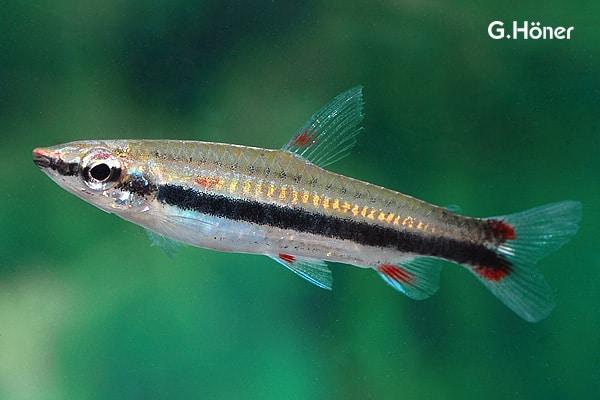 Nannostomus trifasciatus - Dreibindenziersalmler 1