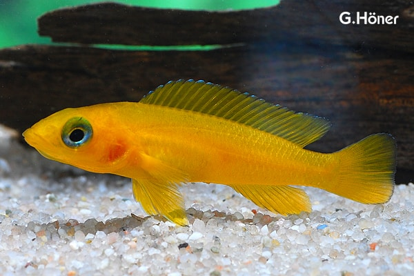 Neolamprologus leleupi tanganjikasee goldcichlide my fish for Zierfische barsch