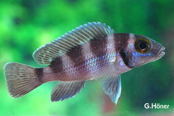 Neolamprologus tretocephalus - Fünfstreifen-Tanganjikaseebuntbarsch 1