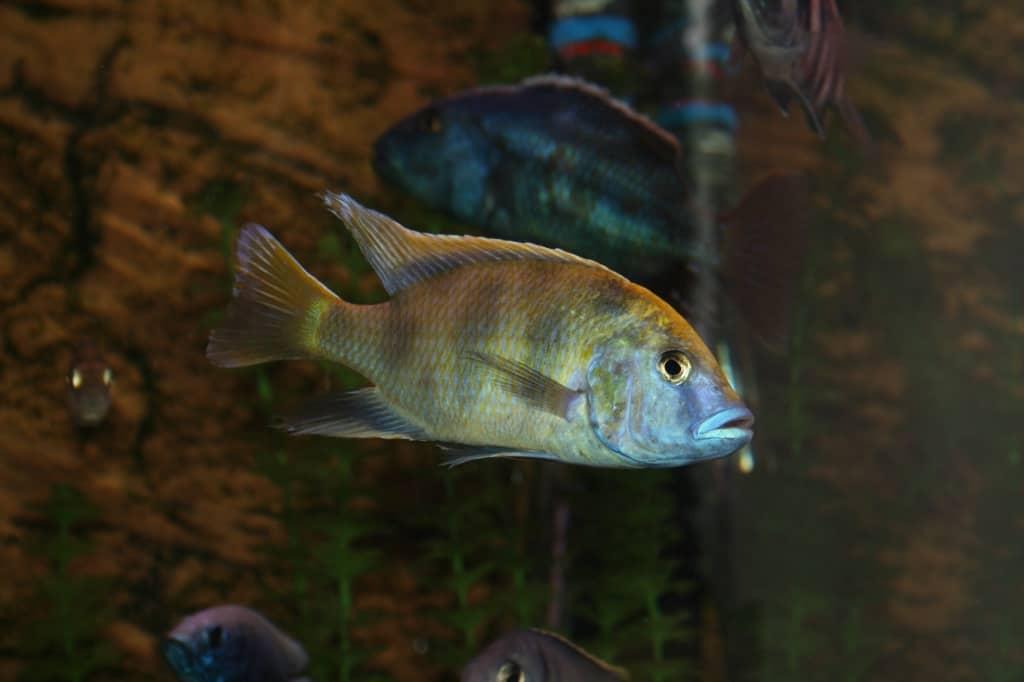 Nimbochromis venustus - Giraffenbarsch 2