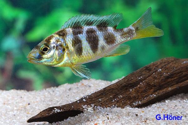 Nimbochromis venustus - Giraffenbarsch 1