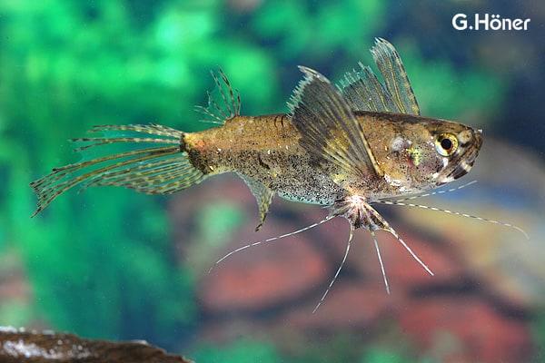 Pantodon buchholzi - Schmetterlingsfisch 1