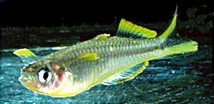 Pseudomugil furcatus - Gabelschwanz-Regenbogenfisch 1